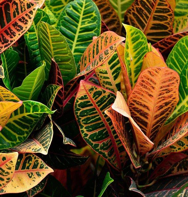 Croton plante : une plante d'intérieur atypique